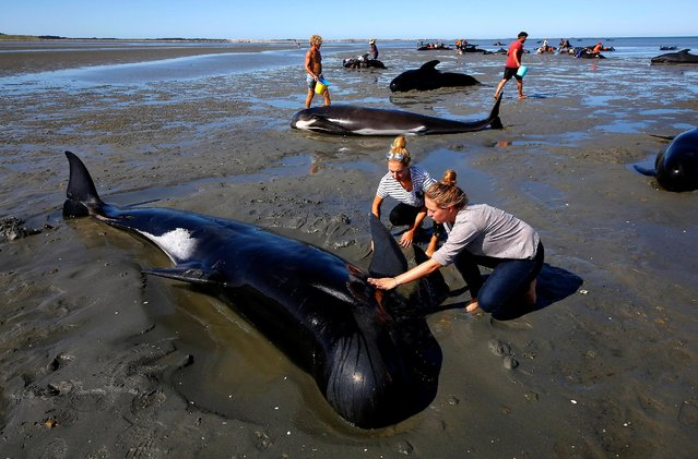 Volunteers try to assist stranded pilot whales that came to shore in the afternoon after one of the country's largest recorded mass whale strandings, in Golden Bay, at the top of New Zealand's South Island, February 11, 2017. (Photo by Anthony Phelps/Reuters)