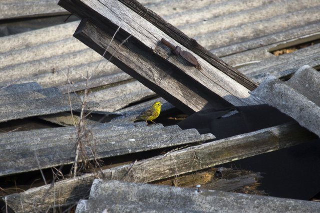 A yellowhammer is seen on the remains of a house at the 30 km (19 miles) exclusion zone around the Chernobyl nuclear reactor in the abandoned village of Orevichi, Belarus, March 12, 2016. (Photo by Vasily Fedosenko/Reuters)