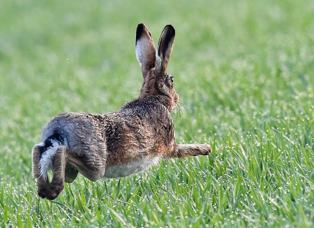 A hare runs over a field near Sachsendorf, eastern Germany, on April 3, 2014. (Photo by Patrick Pleul/AFP Photo/DPA)
