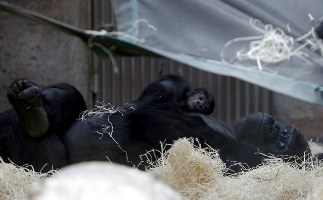 Shinda, a western lowland gorilla, holds her newborn baby in its enclosure at Prague Zoo, Czech Republic, April 24, 2016. (Photo by David W. Cerny/Reuters)
