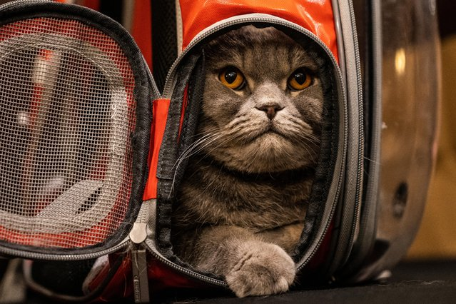 Thunder Folds Cat arrives before the Algonquin Hotel's Annual Cat Fashion Show in the Manhattan borough of New York City, New York, U.S., August 1, 2019. (Photo by Jeenah Moon/Reuters)