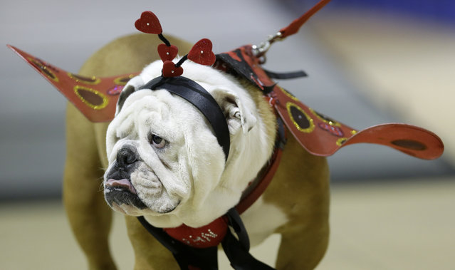 Linus the Love Bug walks across the stage during judging at the 35th annual Drake Relays Beautiful Bulldog Contest, Monday, April 21, 2014, in Des Moines, Iowa. Linus is owned by Rebecca Richardson, of Washington, Ill. (Photo by Charlie Neibergall/AP Photo)