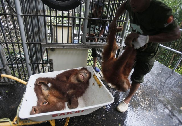 A worker of Sumatran Orangutan Conservation Programme put tranquilized Sumatran orangutans on a cart as they are being prepared to be released into the wild at a rehabilitation center in Kuta Mbelin, North Sumatra, Indonesia, Friday, July 10, 2015. (Photo by Binsar Bakkara/AP Photo)