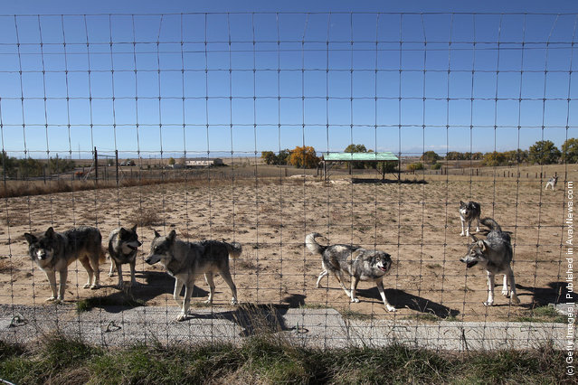 Wolves gather at feeding time at The Wild Animal Sanctuary
