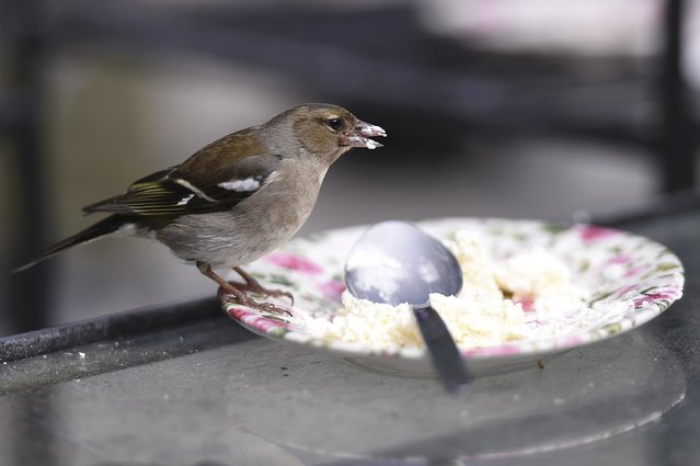 A Chaffinch bird eats the remains of a cake during Britain's Prince Charles and his wife, Camilla Duchess of Cornwall's visit to Glenveagh National Park during a tour to Donegal, Ireland May 25, 2016. (Photo by Clodagh Kilcoyne/Reuters)