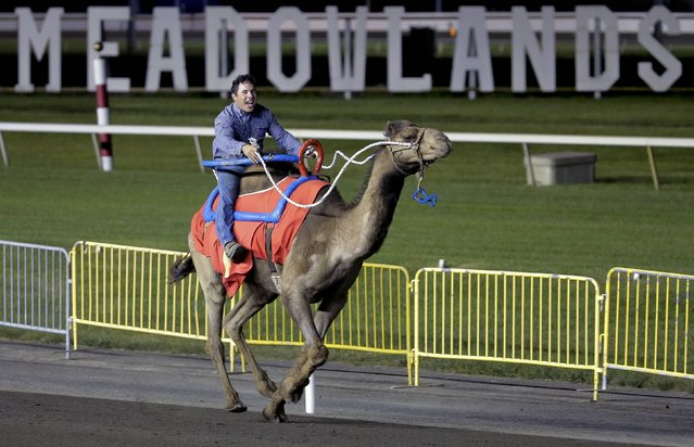 """Hump Day, with rider A. J. Augusto, competes in a race billed as """"The Cameltonian"""" at the Meadowlands Race Track in East Rutherford, New Jersey June 21, 2014. Run by Hedrick's Promotions in Nickerson, Kansas, this is the third year the race has been run at the track, in tandem with an ostrich race. (Photo by Ray Stubblebine/Reuters)"""