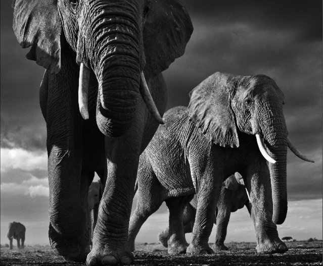Undated David Yarrow handout photo of bull elephants approaching an unprotected remote control camera, as the self-taught wildlife photographer promotes his book, Encounter. (Photo by David Yarrow/Clearview/PA Wire)