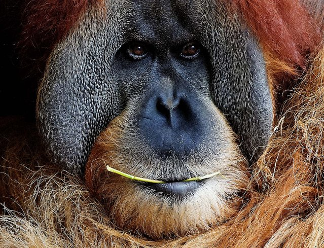 An orangutan named Bimbo chews a stick as it relaxes at the Zoo in Leipzig, Germany, Tuesday, August 5, 2014. (Photo by Jens Meyer/AP Photo)