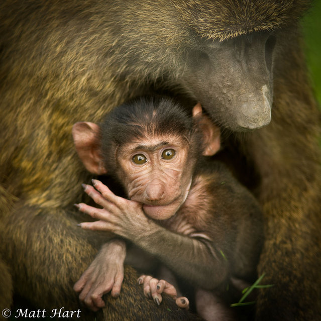 A baby baboon sucks his thumb while in the arms of his mother. The scene was caught on camera by Matthew Hart during a trip to Knowsley Safari Park, in Prescot, Merseyside. (Photo by Matthew Hart)