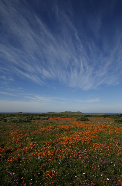Wild flowers bloom in the Postberg section of South Africa's West Coast National Park, September 6, 2015. (Photo by Mike Hutchings/Reuters)