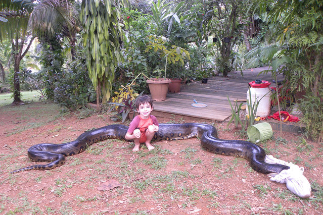 Mano Bascoules, 5, poses with a 17ft anaconda which ate a pet dog is blindfolded with a t-shirt in Montsinery, French Guiana. (Photo by Sebastien Bascoules/Barcroft Media/ABACAPress)