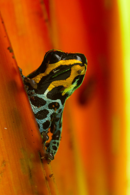 """On the lookout!"" This tiny thumbnail poison dart frog (Ranitomeya variabilis) was captured on a heliconia plant while searching for an intruding male, calling from a distance. Photo location: Tahuayo, Loreto, Peru. (Photo and caption by Fredrik Tegnér/National Geographic Photo Contest)"