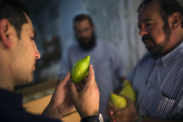 An Israeli man checks an Etrog, a citrus fruit used in rituals during the upcoming Jewish holiday of Sukkot, in a packing house at the southern community of Nave, near the border with the Gaza Strip and Egypt, October 6, 2014. Sukkot starts at sundown on Wednesday. (Photo by Amir Cohen/Reuters)