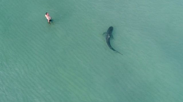 A man wades in the sea as a tiger shark swims past, in Miami Beach, U.S., in this still image taken from a drone video taken November 24, 2017, obtained by Reuters from social media. (Photo by Kenny Melendez/Reuters/@AERODRONEMEDIA)