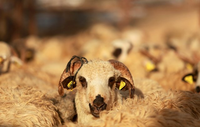A sheep looks on at a livestock market, ahead of Eid al-Adha in Benghazi, Libya, September 22, 2015. (Photo by Esam Omran Al-Fetori/Reuters)