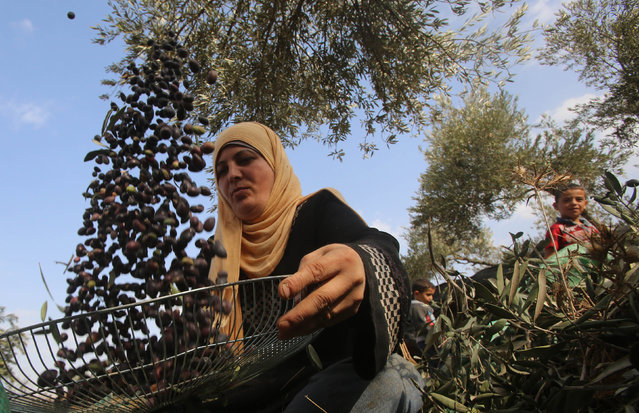 A Palestinian farmer sorts olives during harvest in the West Bank village of Awarta near Nablus October 11, 2014. (Photo by Abed Omar Qusini/Reuters)
