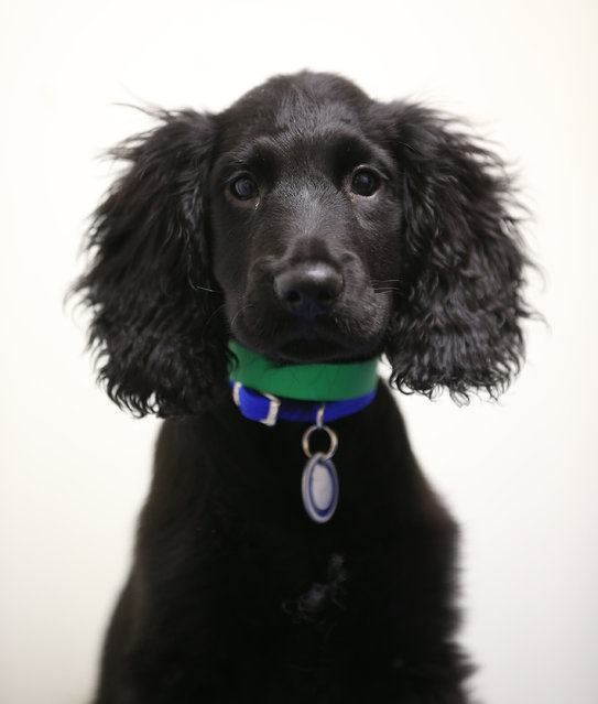 Turnip, a cocker spaniel found abandoned earlier today, is looked after at Battersea Dogs and Cats Home on December 27, 2012 in London, England.  The home was founded 150 years ago and has rescued, reunited and rehomed over three million dogs and cats. The average stay for a dog is just 28 days although some stay much longer. Around 550 dogs and 200 cats are provided refuge by Battersea at any given time.  (Photo by Peter Macdiarmid)