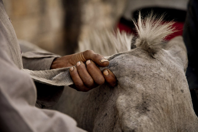 In this Saturday, March 8, 2014 photo, animal barber Mahmoud holds the ear of a donkey as his son, Mohamed Mahmoud, trims the donkey's coat at a makeshift shop in the shadow of the medieval aqueduct in Cairo, Egypt. (Photo by Maya Alleruzzo/AP Photo)