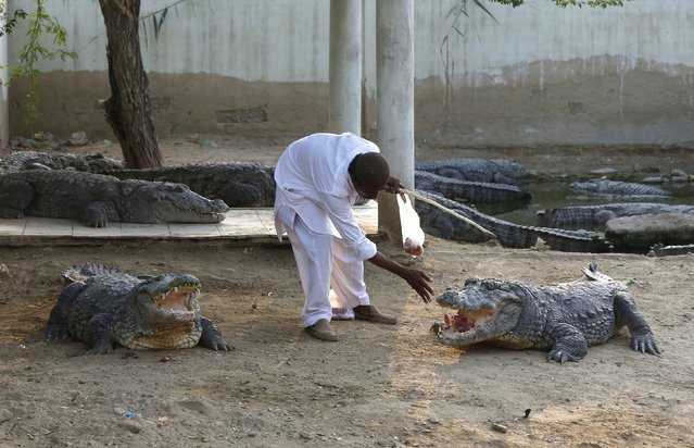 Caretaker Khalifa Sajad feeds crocodiles at the Sufi shrine of Hasan-al-Maroof Sultan Manghopir, better known as the Crocodile Shrine, on the outskirts of Karachi, Pakistan October 11, 2015. Pakistani Sheedi pilgrims are once again flocking to the shrine in Karachi that has been shunned for years amid fears of Taliban attacks. (Photo by Akhtar Soomro/Reuters)