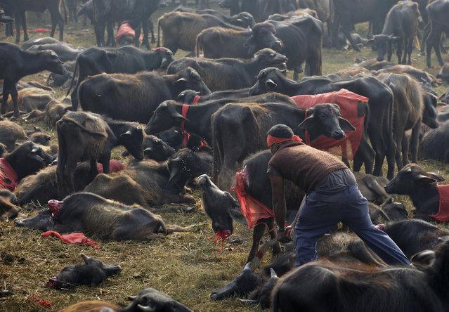 In this photo, butchers conduct the mass sacrifice killing of buffalos during the Gadhimai Festival in Bara, Nepal on Friday, November 28, 2014. (Photo by Kuni Takahashi/AP Images for Humane Society International)