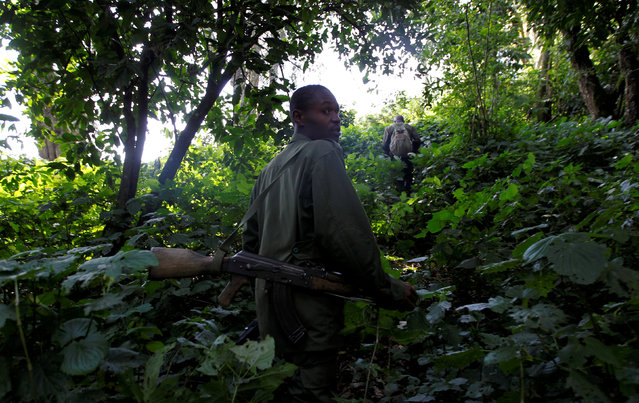 Ugandan Wildlife Authority (UWA) rangers escort visitors during the tracking of endangered mountain gorillas from the Bitukura family, inside a forest in Bwindi Impenetrable National Park in the Ruhija sector of the park, west of Uganda's capital Kampala, May 24, 2013. (Photo by Thomas Mukoya/Reuters)