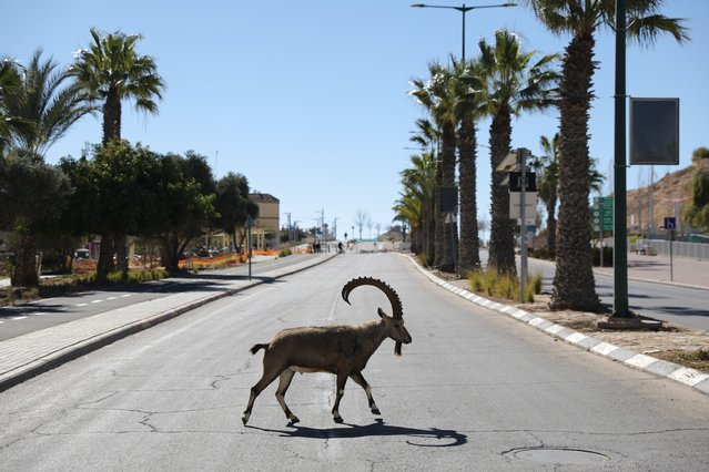 A Nubian ibex roams the streets during a national lockdown in Mitzpe Ramon, southern Israel, 22 January 2021. (Photo by Abir Sultan/EPA/EFE)