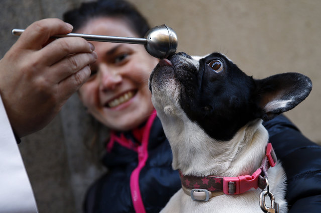 A woman reacts as her dog licks the hyssop after it was blessed by a priest outside Madrid's San Anton Church January 17, 2015. Hundreds of animals owners bring their pets to be blessed every year on the day of San Anton, Spain's patron saint of animals. (Photo by Sergio Perez/Reuters)