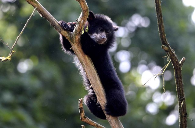 A 6-month-old spectacled bear cub, also known as an Andean bear, plays in the Tierpark Zoo in Berlin, Germany on June 28, 2013. (Photo by Johannes Eisele/AFP Photo)