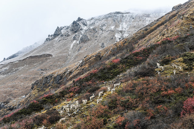 Photo taken on October 31, 2017 shows the scenery of Yumai Town, southwest China's Tibet Autonomous Region. Yumai, China's smallest town in terms of population, sits at the southern foot of the Himalayas, where steep slopes and rugged paths make it difficult to access. (Photo by Purbu Zhaxi/Xinhua/Barcroft Images)