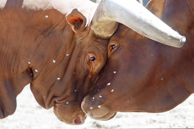 Two Ankole-Watusi bulls lock horns in their enclosure at the zoo in Duisburg, Germany, on August 2, 2013. (Photo by Horst Ossinger/AFP Photo)