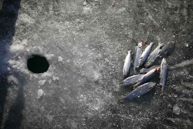 Trout lie on a frozen river in Hwacheon, south of the demilitarized zone (DMZ) separating the two Koreas, January 9, 2016. (Photo by Kim Hong-Ji/Reuters)