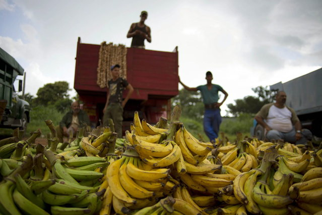 "In this September 30, 2013 photo, banana growers wait next to their truck for customers at the 114th Street Market on the outskirts of Havana, Cuba. ""Here it's always cheaper than in the markets or kiosks"" in the city's crowded neighborhoods, said Argelio Mendez, a government official who runs the market. (Photo by Ramon Espinosa/AP Photo)"