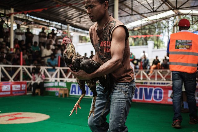 A jockey attends to his bird during a Cock fighting tournament on December 3, 2016 on the outskirts on Antananarivo. (Photo by Gianluigi Guercia/AFP Photo)