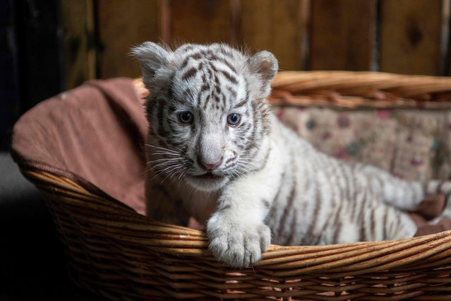 Picture of newborn white bengal tiger cub in Yunnan Wildlife Zoo in Kunming, Southern China on October 12, 2018. Three playful white Bengal tiger cubs are charming tourists as they clamber around the enclosure at a zoo, days into making their first public appearance. (Photo by  Fred Dufour/AFP Photo)
