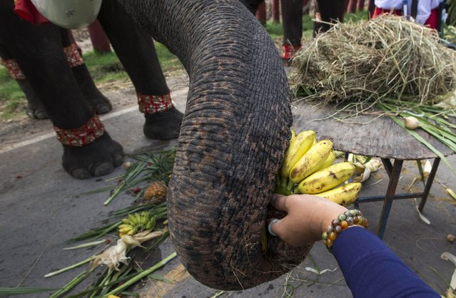 A woman feeds an elephant bananas during Thailand's National Elephant Day in the ancient Thai capital Ayutthaya March 13, 2015. (Photo by Athit Perawongmetha/Reuters)