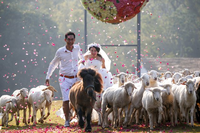 Bride Duangreuthai Amnuayweroj and groom Kasemsak Jiranantiporn run among sheep during a wedding ceremony ahead of Valentine's Day at a resort in Ratchaburi province, Thailand, February 13, 2016. (Photo by Athit Perawongmetha/Reuters)