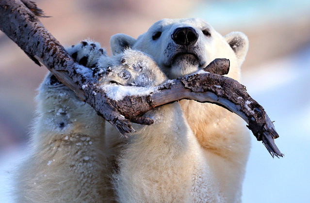 Taiga the polar bear grabs a tree branch at the Quebec Aquarium in Quebec City, December 30, 2013. (Photo by Mathieu Belanger/Reuters)