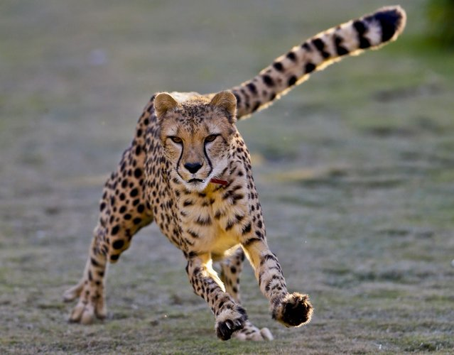 In this December 31, 2012 photo, Johari, a 3-and-half-year-old female cheetah, chases after a mechanized toy during a performance on the Cheetah Run at Safari Park, in Escondido, Calif. While moving at high speed, Johari is not at full speed, evidence by the fact her ears are visible. Cheetahs use their tails like a rotor to balance while they are running. (Photo by Lenny Ignelzi/AP Photo)