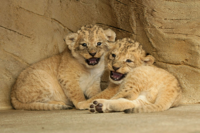 Newborn male Barbary lion cubs Tery and Basty play in the enclosure at Olomouc Zoo on September 5, 2013 in Olomouc, Czech Republic. (Photo by Tomas Frait/isifa/Getty Images)