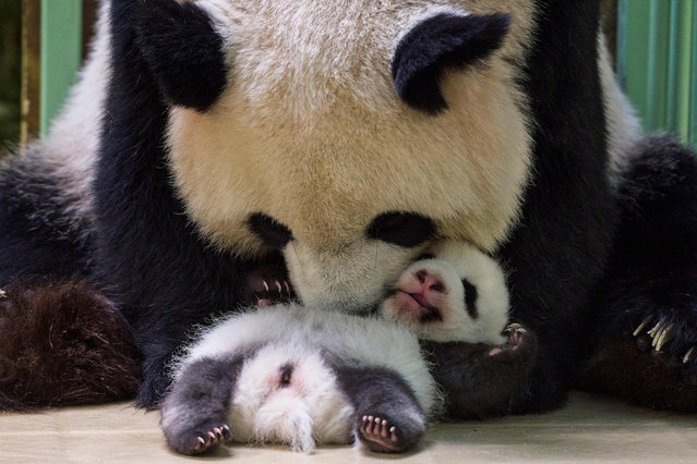 The female panda Huan-Huan cuddles her cub Fleur de Coton after breastfeeding her in their box at The Beauval Zoo in Saint-Aignan-sur-Cher, central France on September 30, 2021. (Photo by Guillaume Souvant/AFP Photo)