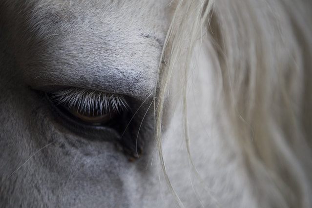 In this March 18, 2019, photo, a horse from Nepal cavalry rests after morning practice for Ghode Jatra festival in Kathmandu, Nepal. (Photo by Niranjan Shrestha/AP Photo)