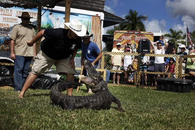 Andy Riffle, of the popular television show Gator Boys, prepares to wrestle an alligator during the Everglades Seafood Festival on Saturday, February 8, 2014 in Everglades City. Tens of thousands of visitors came out to the festival that seems to take over the fishing community. (Photo by Dania Maxwell/Naples Daily News)