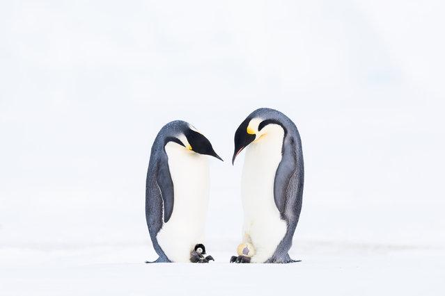 "Birds, winner: Stefan Christmann, ""What'cha got?"" (emperor penguins). (Photo by Stefan Christmann/2019 GDT Nature Photographer of the Year)"