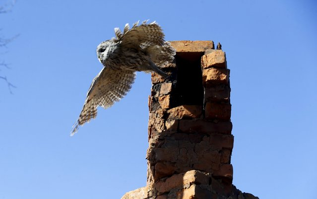 A tawny owl leaves a chimney in the 30 km (19 miles) exclusion zone around the Chernobyl nuclear reactor in the abandoned village of Kazhushki, Belarus, March 16, 2016. (Photo by Vasily Fedosenko/Reuters)