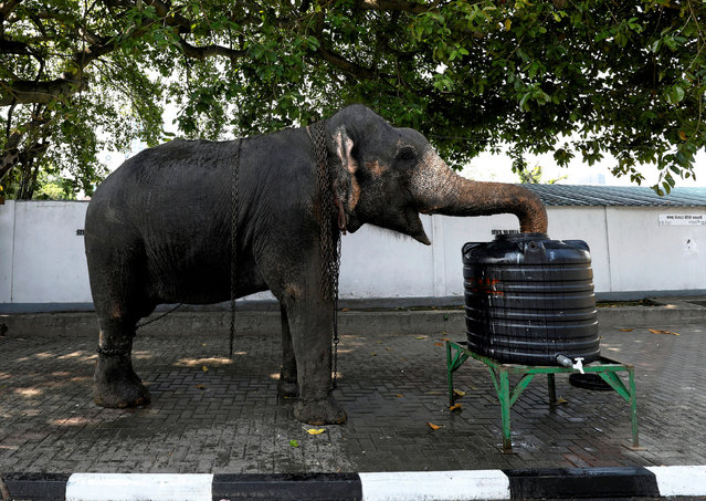 An elephant drinks water before the annual Navam Perahera parade, on the side of a main street in Colombo, Sri Lanka on February 18, 2019. (Photo by Dinuka Liyanawatte/Reuters)