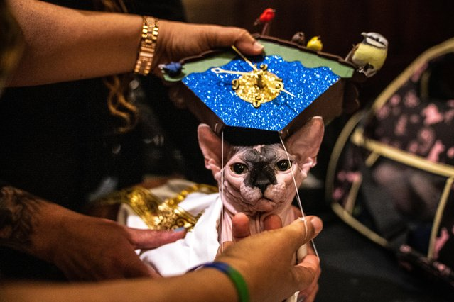 Canoli wears a hat at backstage before the Algonquin Hotel's Annual Cat Fashion Show in the Manhattan borough of New York City, New York, U.S., August 1, 2019. (Photo by Jeenah Moon/Reuters)