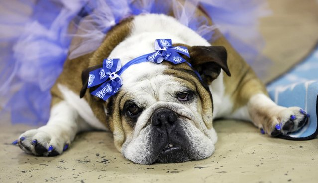 Stella lies during judging at the 35th annual Drake Relays Beautiful Bulldog Contest, Monday, April 21, 2014, in Des Moines, Iowa. Stella is owned by Melody Reels, of Winterset, Iowa. (Photo by Charlie Neibergall/AP Photo)