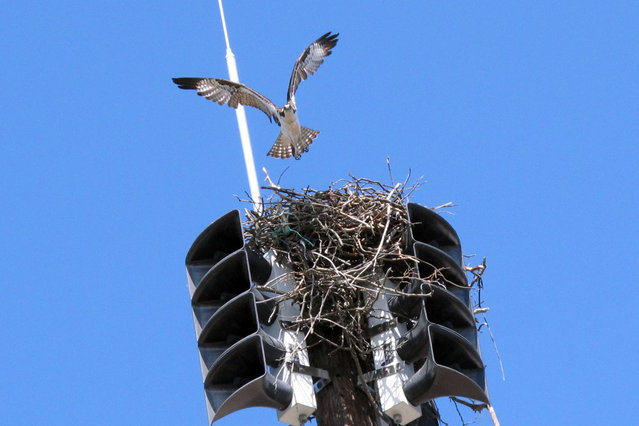 An osprey takes off from its nest inside a fire siren in Spring Lake N.J. on Tuesday May 6, 2014. The Jersey shore town has been forced to turn the siren off until fall to avoid disturbing the bird and any chicks it may have. First responders are notified of emergencies using pagers or cell phones. (Photo by Wayne Parry/AP Photo)