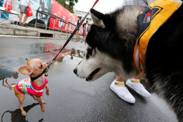 Pets get ready before running a mini-marathon for dogs in Bangkok, Thailand May 7, 2017. (Photo by Jorge Silva/Reuters)