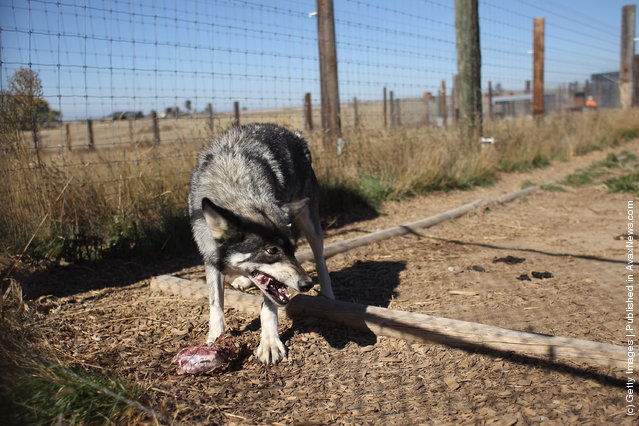 A wolf eats at The Wild Animal Sanctuary
